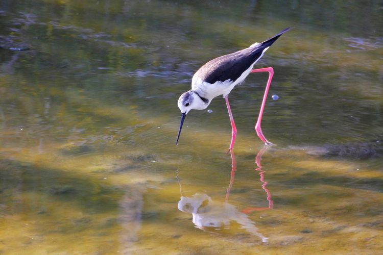 Reflection Beauty Beauty Of Nature Looking Down Looking Through Lake Birds One Animal Nature_collection Bright Blackwingedstint Cavaliere D'Italia Black-winged Stilt Bird Animal Wildlife Reflection One Animal Animals In The Wild Water Lake Animal Themes No People Day Full Length Nature Outdoors Flamingo