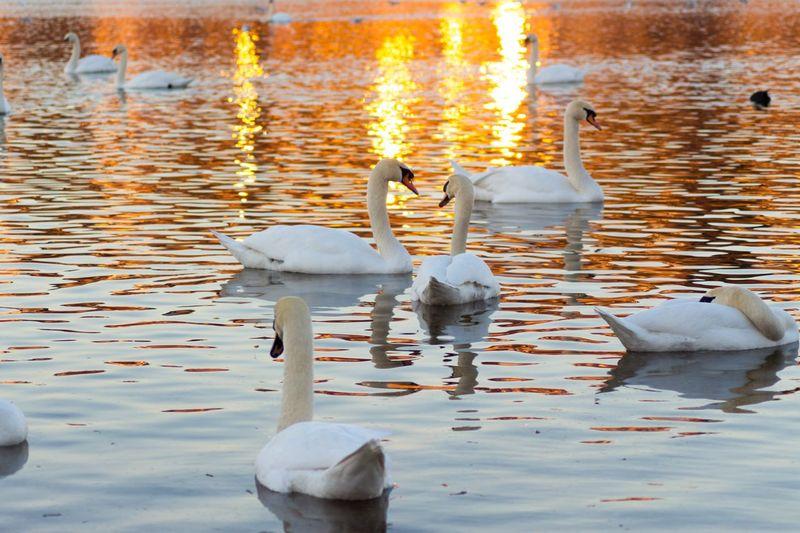 Sunset Swans On