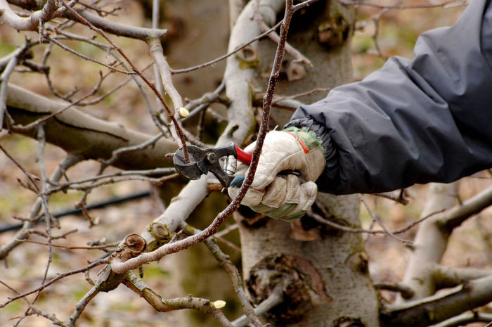 pruning apple tree Agriculture Apple Blossom Apple Buddy Apple Orchard Apple Tree Cold Day Farmer Glove Outdoors Pliers Pruning Secateurs Tool Twig Winter Wintertime