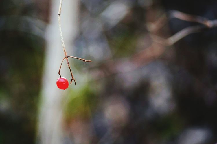 Close-Up Of Cherry On Branch
