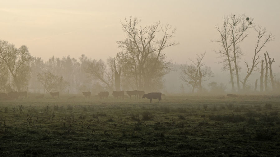 Herd of cows at dawn Agriculture Pasture Animal Themes Animal Wildlife Beauty In Nature Cattle Cattle Breeding Dawn Of A New Day Day Domestic Animals Field Fog Grass Grazing Herd Of Cows Landscape Livestock Mammal Misty Morning Nature No People One Animal Outdoors Sky Tree