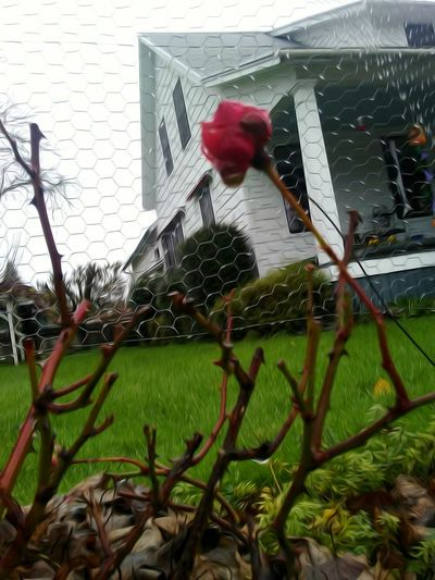 Red Built Structure Building Exterior Architecture Outdoors Last Rose Of Autumn Winter Rose...🌬🌹 November Be Thankful For Everything You Have. Cellphone Photography Point And Shoot Fragility November In Oregon Chance Encounters The Week On Eyem 2016 EyeEm Awards Getty Images EyeEm Gallery EyeEm Best Shots Scenics Change Freshness Beauty In Nature Growth Im Thankful