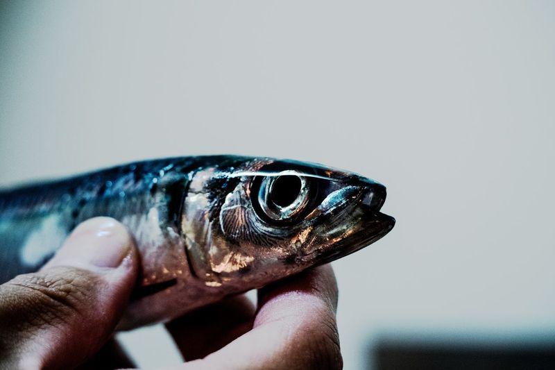 Sardine. Bigeyes Human Finger Pentax Fish Fisheye Sardine Moisture Human Hand Close-up