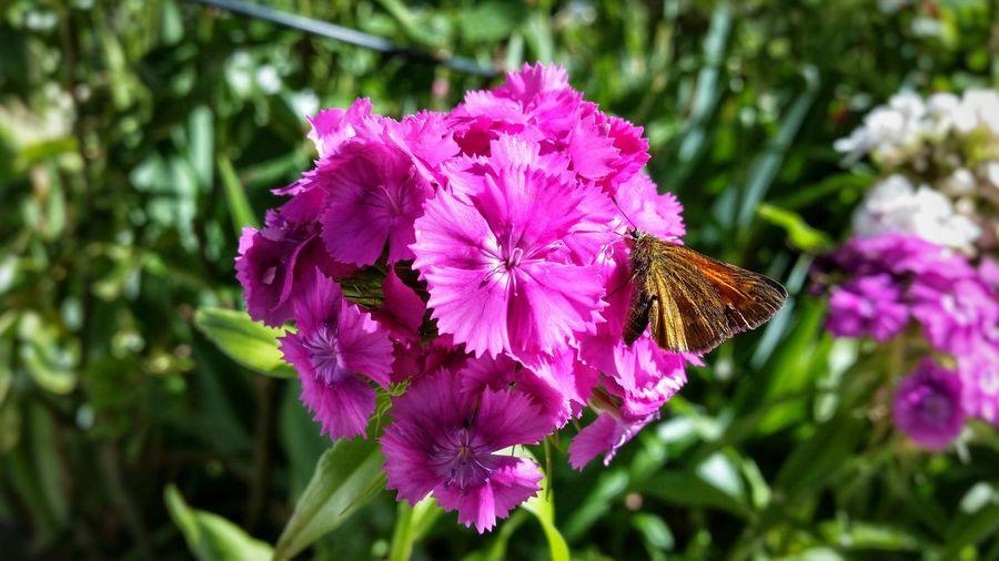 Schmetterling Eating Butterfly Brown On Violet Green In Background Flowers Violet Focus Effect In My Garden Summer Blütenpracht Blüte Es Blüt Im Garten Ein Schmetterling Pollen Sitting On Flower