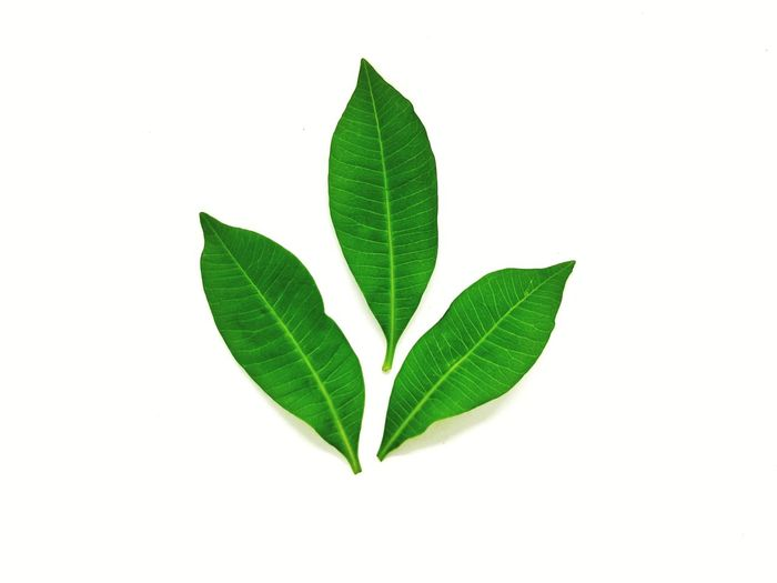 EyeEm Selects green leaves on white background. Leaf Green Color Plant Close-up Studio Shot White Background Plant Part Nature Beauty In Nature No People Herb Freshness Leaves
