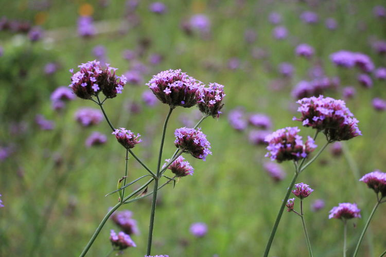 beautiful purple verbenas flowers Flower Flowering Plant Plant Growth Freshness Beauty In Nature Vulnerability  Focus On Foreground Fragility Close-up Nature Day Selective Focus Field No People Pink Color Plant Stem Purple Land Flower Head Outdoors Verbena Flower Verbena