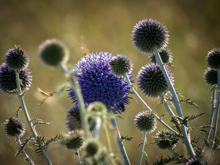 Blue Globethistle EyeEm Nature Lover Thistles Echinops Ritro Echinops Bannaticus Globethistle Blueflowers EyeEm Selects Thistle Flower Flower Head Thorn Uncultivated Purple Close-up Plant Spiked Flowering Plant Spiky Wildflower Botany In Bloom Blossom Sharp