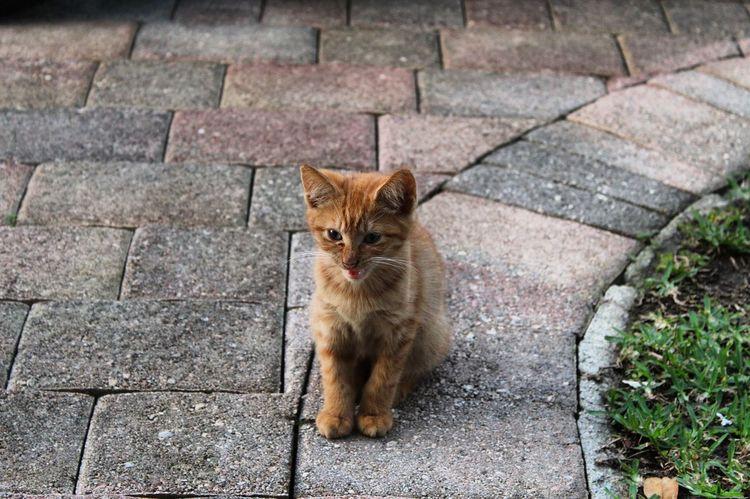 Domestic Cat Pets One Animal Domestic Animals Feline Mammal Outdoors No People Ginger Cat Cat Tortoiseshell Cat Stray Animal Day