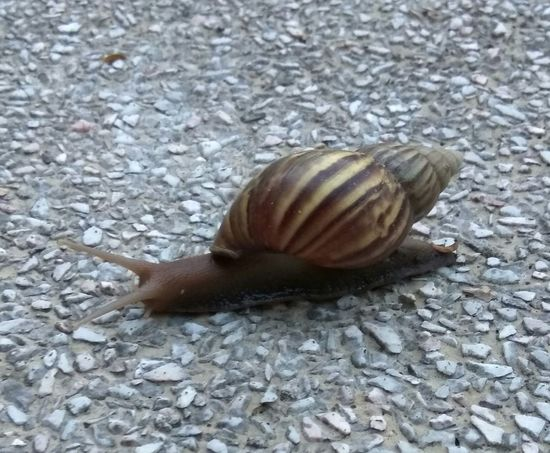 Animal Themes One Animal Snail Nature High Angle View Close-up Ground No People Animals In The Wild Outdoors Slimy SnailMail Snail's Pace Slow And Steady Slow And Steady Wins The Race