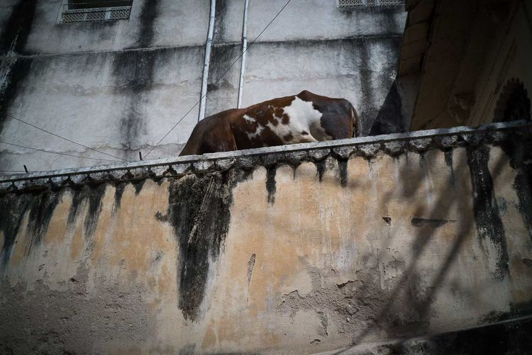 Jodhpur 2017 India Jodhpur Animal Themes Cow Day Domestic Animals Livestock Mammal No People One Animal Outdoors Pets Rajasthan Streetphotography