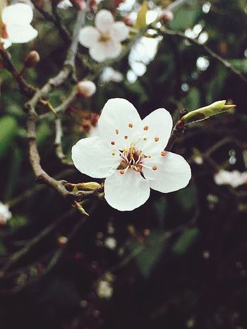 Cold spring day Flower Growth Beauty In Nature Fragility White Color Tree Nature Petal Blossom Freshness Springtime Branch Apple Blossom Apple Tree Flower Head Botany Orchard Stamen No People