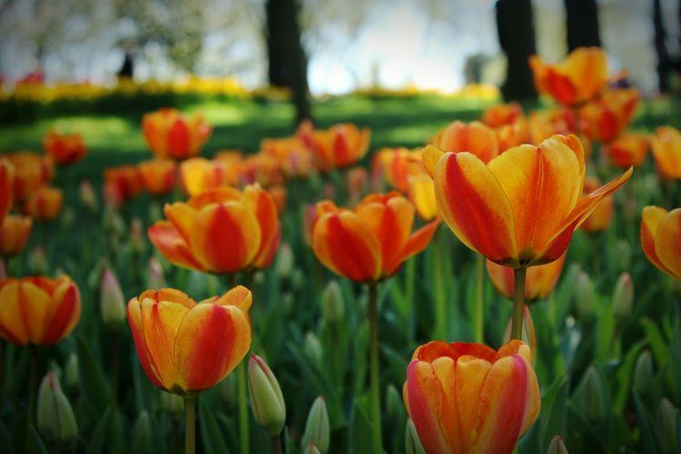 Close-up of orange tulips on field