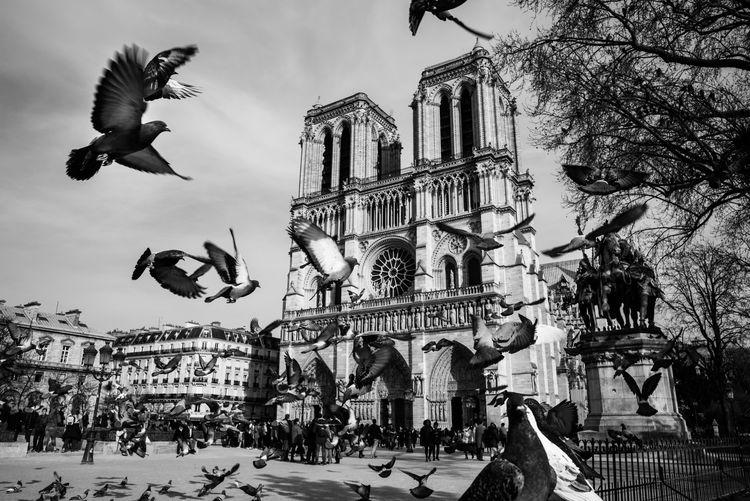 Notre Dame De Paris The Week on EyeEm Notre-Dame De Paris Dove Cathédrale Notre-dame De Paris Flying Paris Architecture ILE DE LA CITE Kathedrale Bnw Notre Dame My Paris Blackandwhite