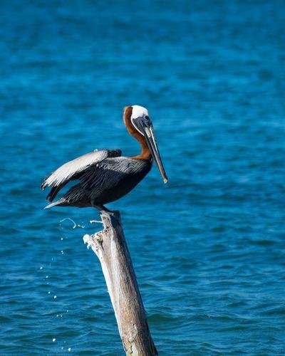 Pelican Sea Sea