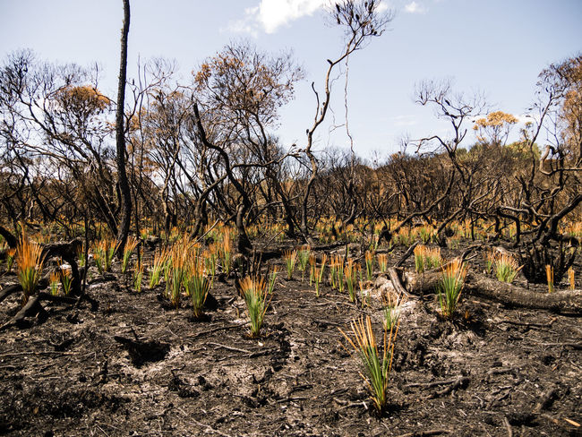 Agriculture Bare Tree Beauty In Nature Bushfire Day Forest Fire Growth Landscape Nature New Growth No People Outdoors Plant Sky Tree