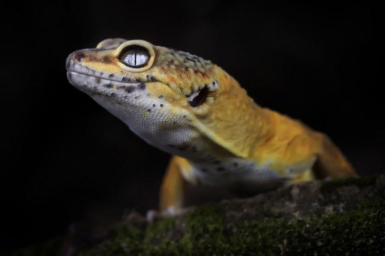 Exotic lemon frost leopard gecko