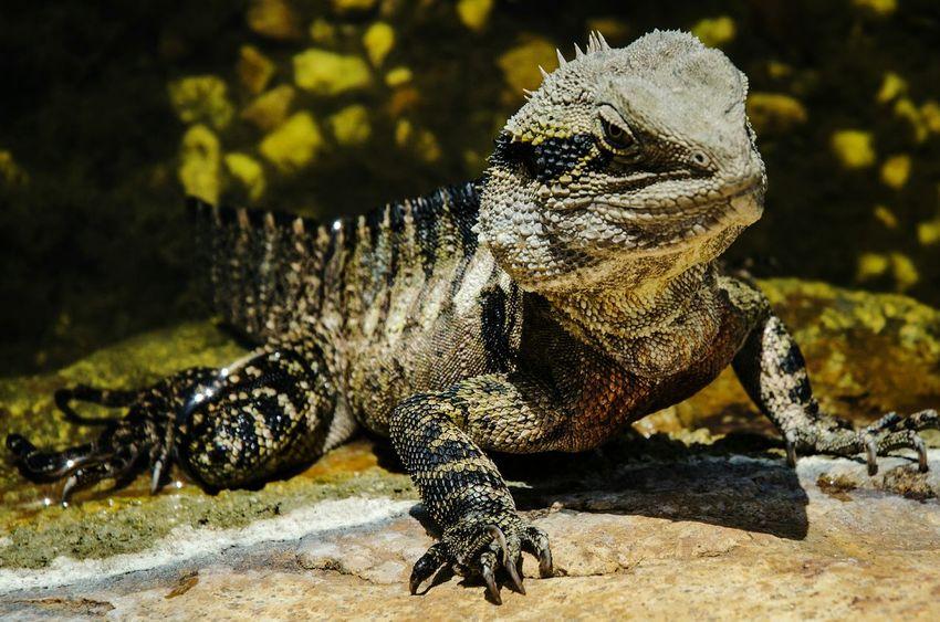Water Lizard Close-up No People Outdoors Rock Lizard Nikon D5100  EyeEm Nature Lover