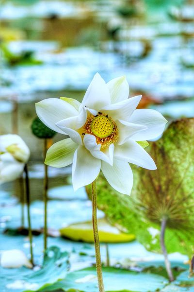 Flower Nature Petal Fragility Beauty In Nature Flower Head Freshness Focus On Foreground Plant Orchid Close-up Water Day Lotus Water Lily Blooming Growth Floating On Water No People Outdoors Lily Pad
