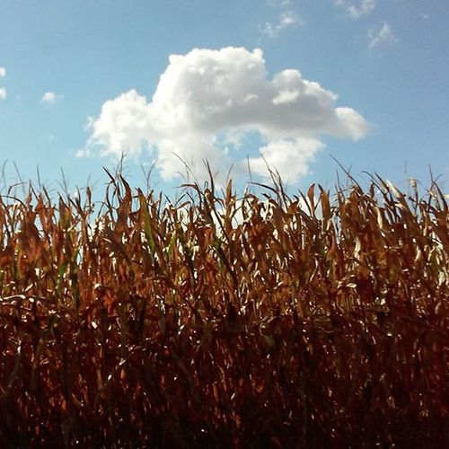 The corn is getting brown! I love how the sunlight is glowing through the stalks! 🌽 Also love the turtle 🐢 cloud Cornfield Cornland Illinois Clouds Turtlecloud Turtleofthecorn Centralillinois