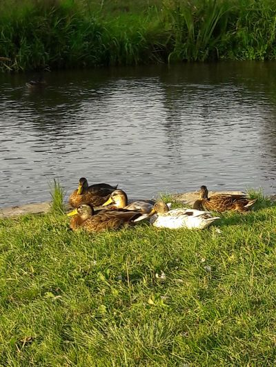 Animals In The Wild First Eyeem Photo Ducks Ducks😄 Park Duck Family Ducks At The Lake