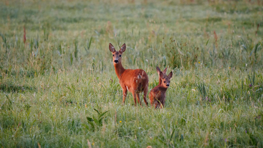 A little deer family I met this summer. Deutschland Morning Sunrise National Park Wild Animal Animal Family Animal Themes Animal Wildlife Animals In The Wild Deer Deer Family Deer Moments Fawn Germany Grass Mammal Mother And Child Nationalpark Nature Naturephotography Outdoors Summer Wild Animals Wilderness Wildlifephotography Young Animal