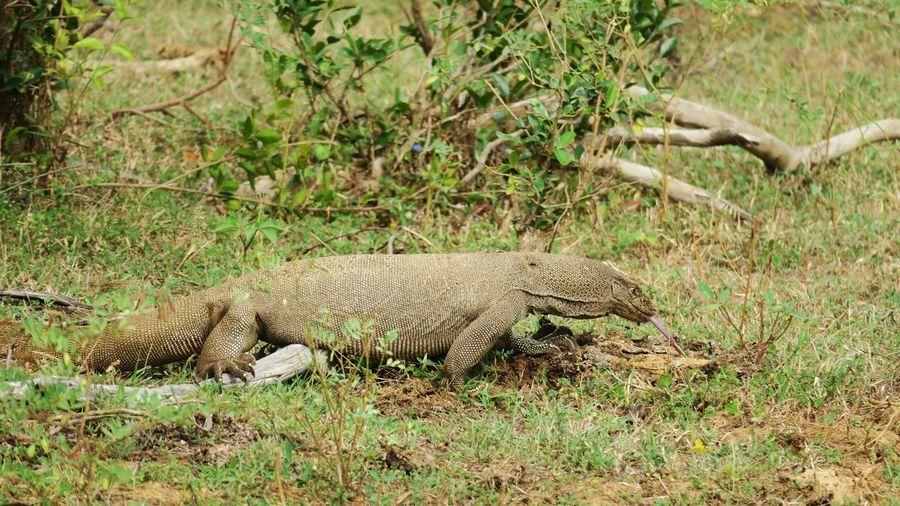 Komodo Yala