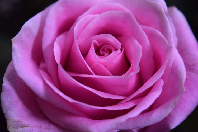 The close up center of a delicate pink rose Blooming Blossom Botany Close-up Flower Flower Head Fragility Freshness Growth Macro Beauty, Petal Pink Color Rose - Flower