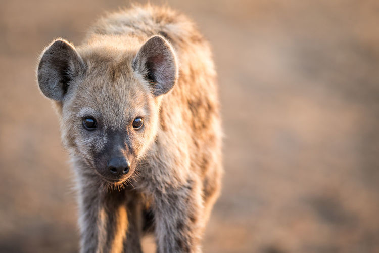 Portrait of spotted hyena standing on field