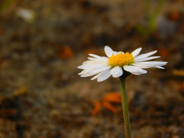 some day Beauty In Nature Blooming Close-up Day Field Flower Flower Head Focus On Foreground Fragility Freshness Growth Nature No People Outdoors Petal Plant White Color Yellow First Eyeem Photo