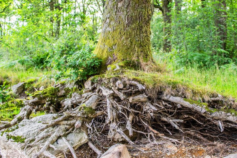 The Root of it.... Tree Forest Nature Root Tranquility Outdoors Tree Trunk No People Green Color Day Beauty In Nature Growth Scenics Grass Plant Leaf Branch