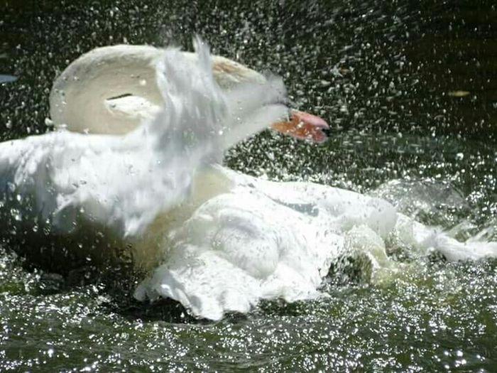 Splashin' Swan Swan Swans White Swan Bird Birds Birds Of EyeEm  EyeEm Best Shots Eyemnaturelover Eyem Gallery Eyem Best Shots Nature_collection Eyemphotography Stopmotion EyeEm Nature Lover Splashing Splash