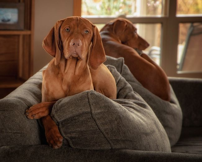 Jack and Annie My Best Photo Pets Dog Animal Sitting Portrait Relaxation Furniture Sofa Domestic Brown Indoors  Canine Mammal Vizsla No People Looking At Camera Animal Themes One Animal Domestic Animals Home Interior My Best Photo