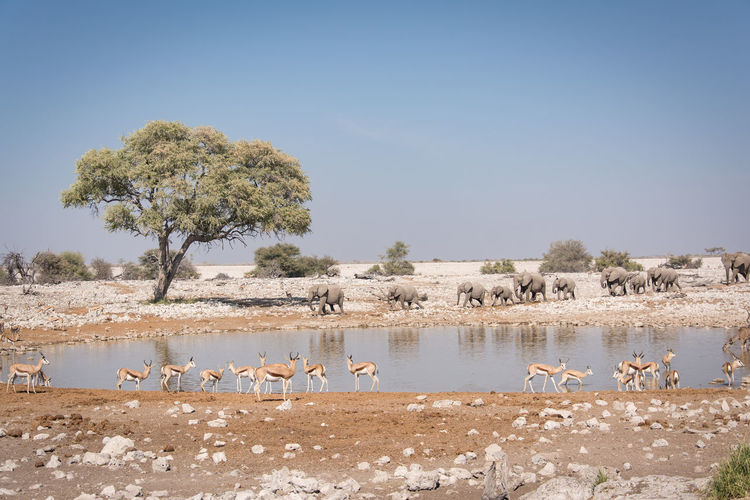 Elephants And Deer At Lake Against Sky