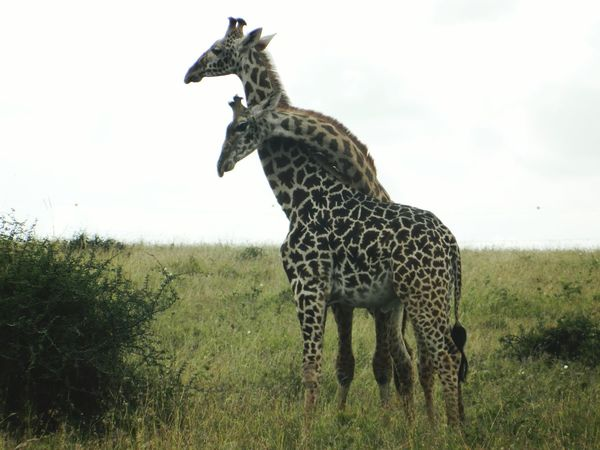Giraffe♥ Nairobi National Park Giraffes Intertwined Looks Like They Are Showing Affection For Each Other Wildlife Wildlife & Nature Wildlife Photography