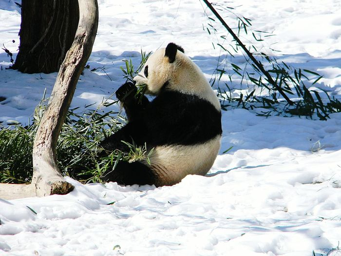 Panda sitting on snow covered field