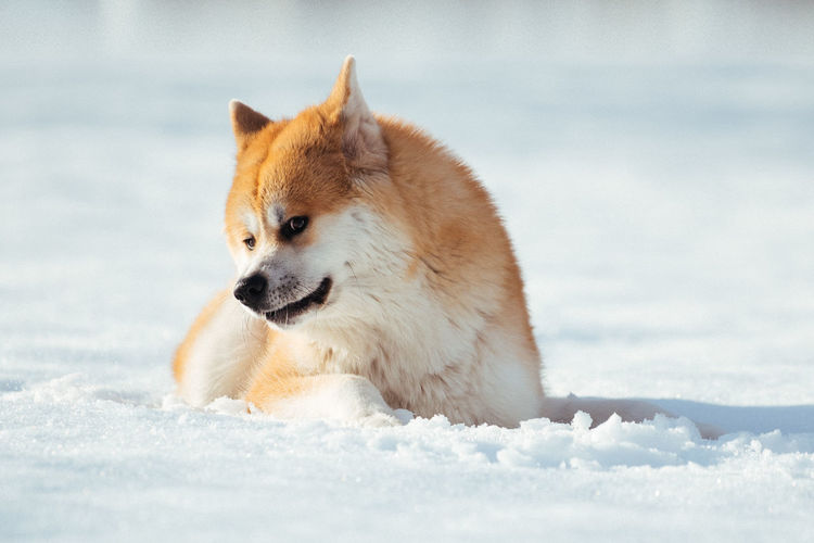 Close-up of akita dog on snow
