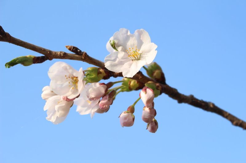#japan #bluesky #cherryblossom Flowering Plant Plant Beauty In Nature Flower Fragility Growth Freshness