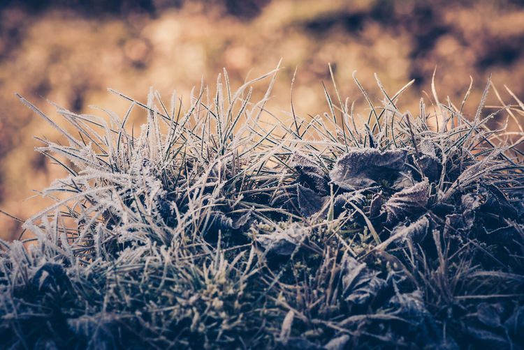 Close-up of dried plant on field during winter