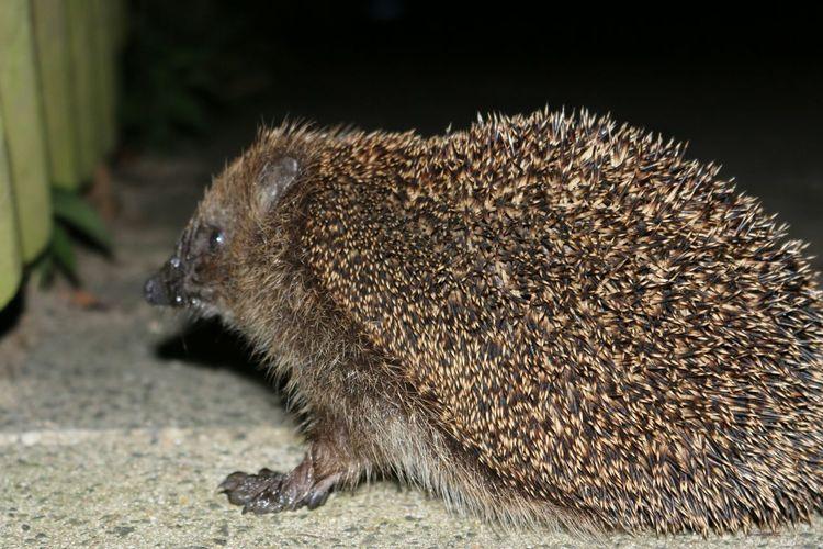 Igel Hedgehog