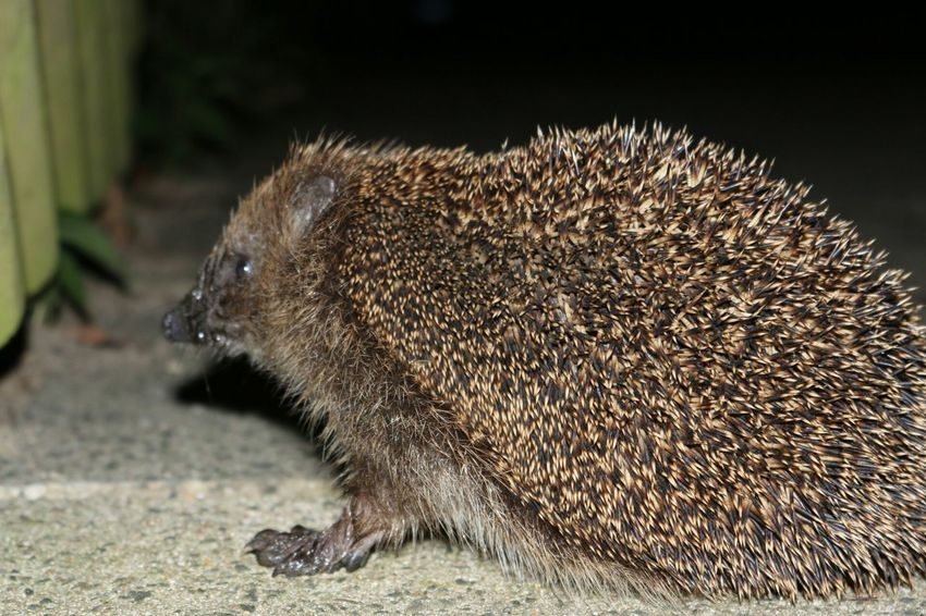 Igel Hedgehog Cute Animals