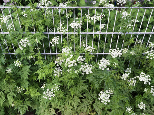 Backgrounds Beauty In Nature Close-up Cow Parsley Day Fence Flower Fragility Freshness Full Frame Green Color Growth Nature No People Outdoors Plant