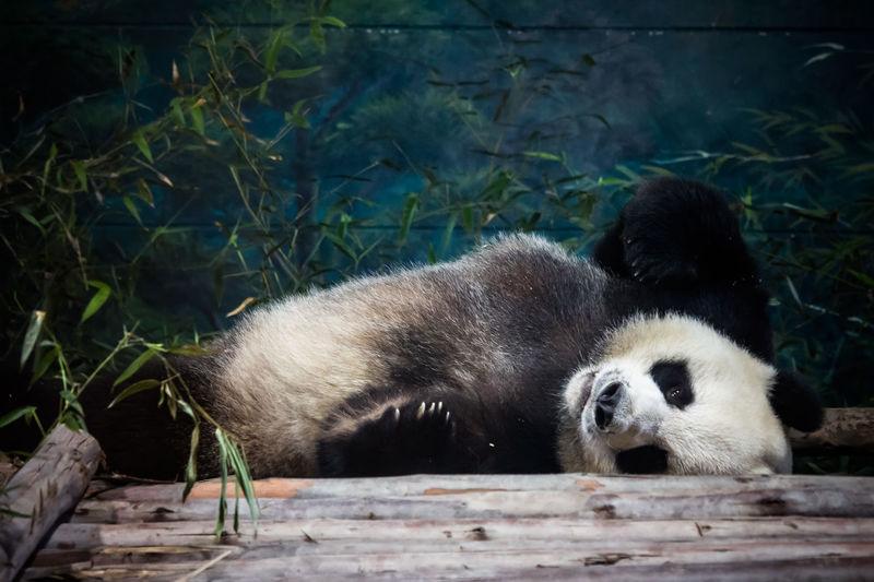 Giant panda relaxing on wood at chiang mai zoo