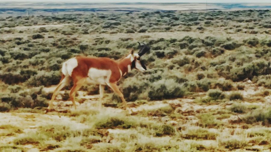 Wyoming Pronghorn Buck Animal Themes One Animal Mammal Grass Day Animals In The Wild Nature Outdoors No People Standing Beauty In Nature Pronghorn Antelope Travel, Landscapes, Wyoming Scenics Close-up Antelope Power In Nature Beauty In Nature Travel Destinations Nature Animal Animal Wildlife Animals In The Wild Grass Landscape