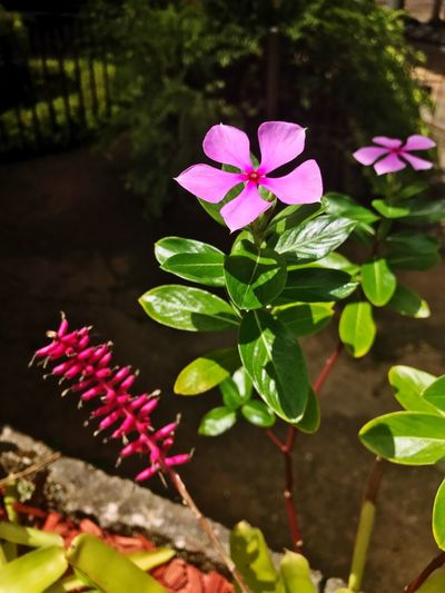 Growth Flower Pink Color Plant Leaf Petal Beauty In Nature