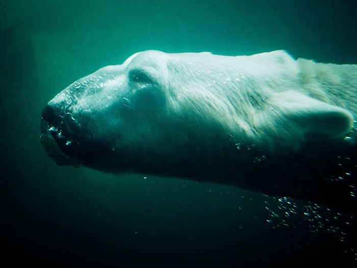The massive polar bear at St. Paul's Como Zoo. Bear Zoo Zoo Animals  Swimming Animals Animal Animal Photography Water Bears Galore Underwater