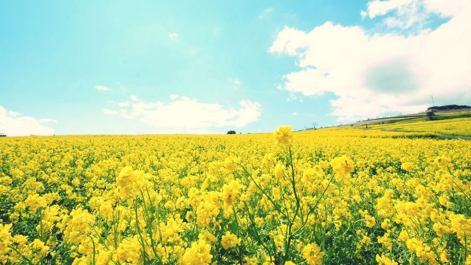 淡路島 菜の花 Fujifilm Scenery