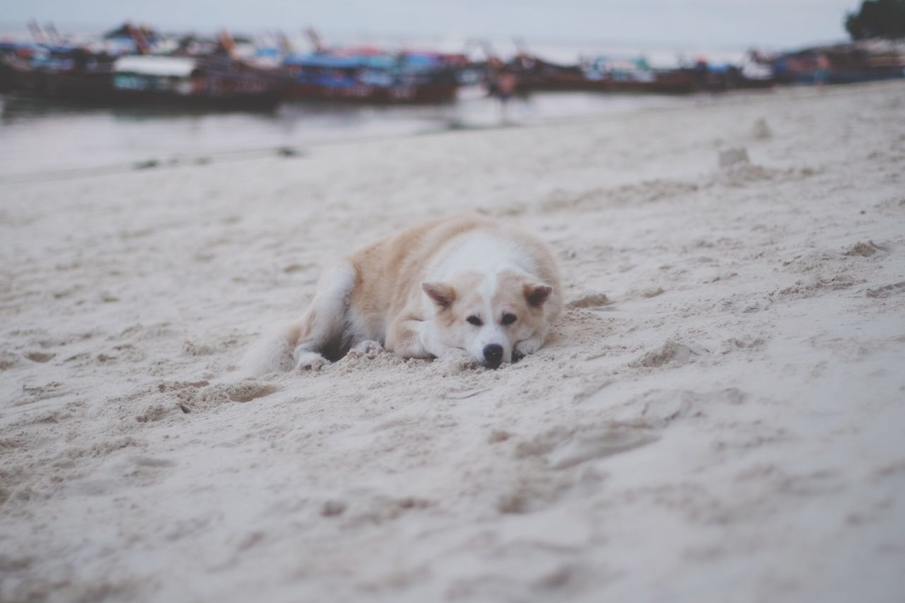 Close-Up Of Dog Lying Down On Beach
