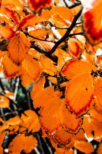 Beautiful red and orange fall leaves on a tree Autumn Fall Colors Autumn Beauty In Nature Branches And Leaves Change Close Up Close-up Day Fragility Growth Leaf Leaves Maple Nature No People Orange Color Outdoors Red Color