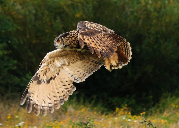 Close-up of flying owl