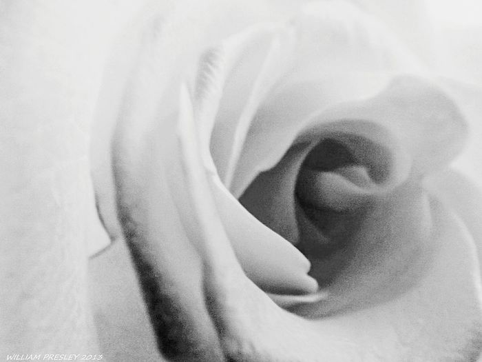 Rose Macro in Black and White Close-up Beauty Rosé Black And White Roses Blooming Nature Photography Floral Flower Flora Plant Nature Beauty Macrophotography No People Petal ©2017 Williampresley Black And White Collection! Flower Head Nature Shots Nature Nature Photography 👣 Beauty In Nature Nature Collection